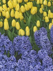 USA, Nevada, Las Vegas. Hyacinth and yellow tulips in garden. by Jaynes Gallery