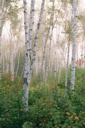 USA, New Hampshire. Birch Trees in Clearing Fog