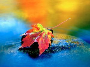 USA, New Hampshire, Maple Leaf in the Swift River, White Mountains by Jaynes Gallery