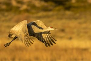 USA, New Mexico, Bosque del Apache National Wildlife Refuge. Sandhill crane in flight. by Jaynes Gallery