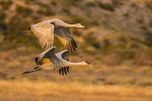 USA, New Mexico, Bosque Del Apache National Wildlife Refuge. Sandhill cranes flying. by Jaynes Gallery