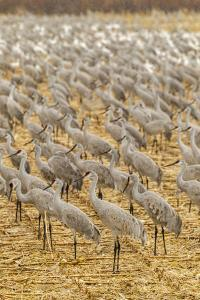 USA, New Mexico, Bosque del Apache National Wildlife Refuge. Sandhill cranes on feeding grounds. by Jaynes Gallery
