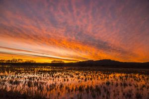 USA, New Mexico, Bosque del Apache National Wildlife Refuge. Sunset on bird flock in water. by Jaynes Gallery
