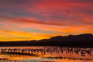USA, New Mexico, Bosque Del Apache Nwr. Sandhill Cranes in Water by Jaynes Gallery