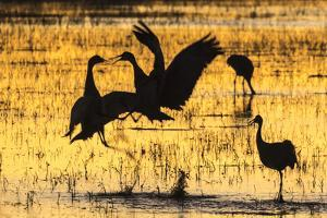 USA, New Mexico, Bosque del Apache. Sandhill cranes backlit at sunset. by Jaynes Gallery