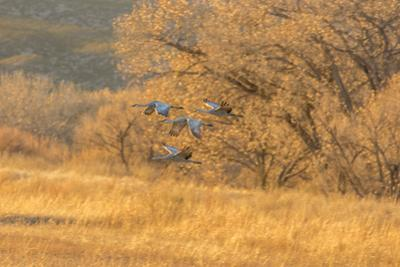 USA, New Mexico, Bosque del Apache. Sandhill cranes flying at sunset. by Jaynes Gallery