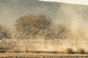 USA, New Mexico, Bosque del Apache. Snow geese landing. by Jaynes Gallery
