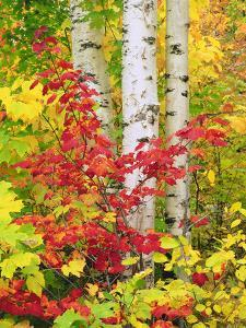 USA, New York, Adirondack Park, Autumn Colors of Birch and Maple Trees by Jaynes Gallery