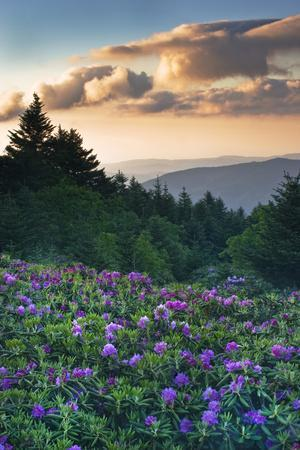 USA, North Carolina. Catawba Rhododendrons in Mountains