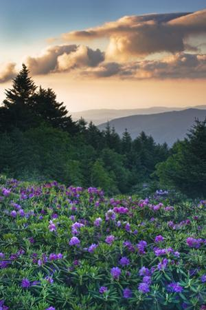 USA, North Carolina. Catawba Rhododendrons in Mountains by Jaynes Gallery
