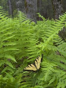 USA, North Carolina. Swallowtail Butterfly on Fern by Jaynes Gallery
