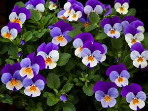 USA, Oregon, Coos Bay. Purple violas. by Jaynes Gallery