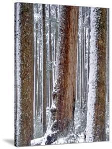 USA, Oregon, Drift Creek Wilderness. Snow on Douglas Fir Trees by Jaynes Gallery