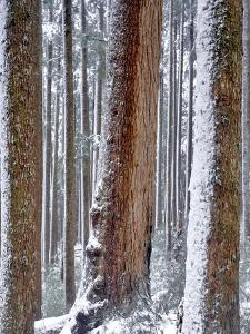 USA, Oregon, Drift Creek Wilderness. Snow on Douglas Fir Trees by Jaynes Gallery