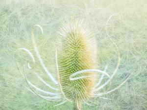 USA, Oregon, Malheur National Wildlife Refuge. Abstract of teasel plant. by Jaynes Gallery