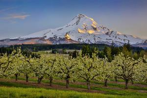 USA, Oregon. Pear orchard in bloom and Mt. Hood. by Jaynes Gallery