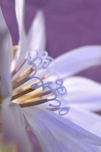 USA, Oregon, Portland. Close-Up of Chicory Wildflower by Jaynes Gallery