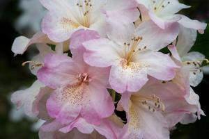 USA, Oregon, Shore Acres State Park. Rhododendron flowers close-up. by Jaynes Gallery