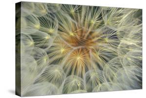 USA, Pennsylvania. Dandelion Seedhead Close Up by Jaynes Gallery