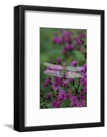 USA, Pennsylvania. Dragonfly on Joe Pye Weed