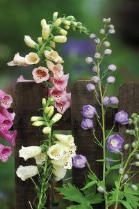 USA, Pennsylvania. Foxglove and Delphinium on Fence by Jaynes Gallery