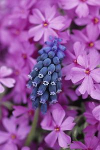 USA, Pennsylvania. Grape Hyacinth and Phlox Flowers in Garden by Jaynes Gallery