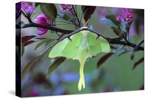 USA, Pennsylvania. Luna Moth on Cherry Tree in Spring by Jaynes Gallery