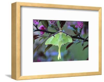 USA, Pennsylvania. Luna Moth on Cherry Tree in Spring