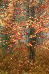 USA, Pennsylvania. Sunlight on Autumn Leaves by Jaynes Gallery
