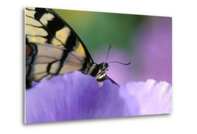USA, Pennsylvania. Tiger Swallowtail Butterfly on Petunia Flower