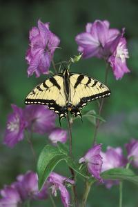 USA, Pennsylvania. Tiger Swallowtail on Delphinium Flower by Jaynes Gallery