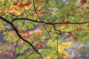 USA, Pennsylvania. Tree Branch in Autumn Light by Jaynes Gallery