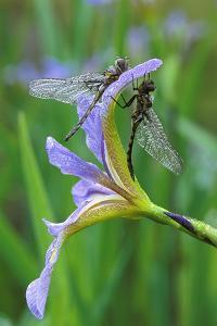 USA, Pennsylvania. Two Dragonflies on Iris Flower by Jaynes Gallery