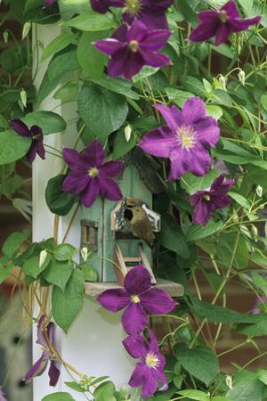 USA, Pennsylvania. Wren in Birdhouse and Clematis Vine