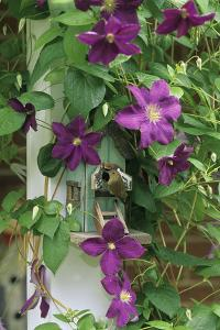 USA, Pennsylvania. Wren in Birdhouse and Clematis Vine by Jaynes Gallery