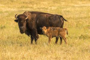 USA, South Dakota, Custer State Park. Bison cow and calf. by Jaynes Gallery