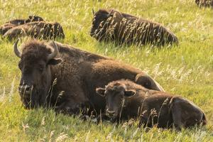 USA, South Dakota, Custer State Park. Bison cow and calves. by Jaynes Gallery