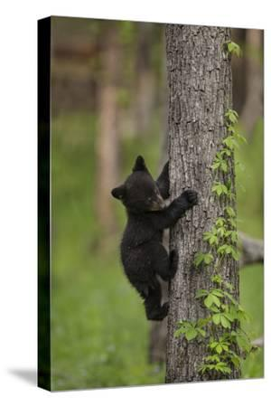 USA, Tennessee. Black Bear Cub Climbing Tree