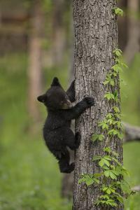 USA, Tennessee. Black Bear Cub Climbing Tree by Jaynes Gallery