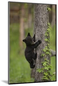 USA, Tennessee. Black Bear Cub Climbing Tree by Jaynes Gallery