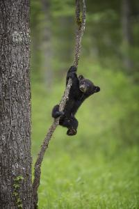USA, Tennessee. Black Bear Cub Playing on Tree Limb by Jaynes Gallery