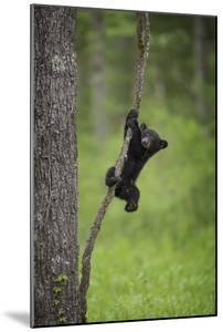 USA, Tennessee. Black Bear Cub Playing on Tree Limb by Jaynes Gallery