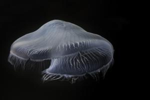 USA, Tennessee, Chattanooga. Moon Jellyfish in Aquarium by Jaynes Gallery