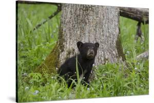 USA, Tennessee, Great Smoky Mountains National Park. Black Bear Cub Next to Tree by Jaynes Gallery