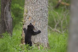 USA, Tennessee, Great Smoky Mountains National Park. Black Bear Cub Prepares to Climb Tree by Jaynes Gallery