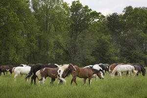 USA, Tennessee, Great Smoky Mountains National Park. Horses in Cade's Cove Pasture by Jaynes Gallery