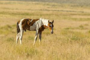 USA, Utah, Tooele County. Wild horse foal close-up. by Jaynes Gallery