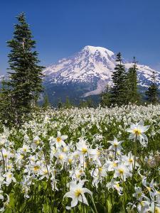USA, Washington, Mount Rainier NP. Avalanche Lilies and Mount Rainier by Jaynes Gallery