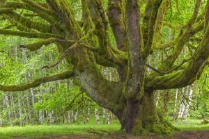USA, Washington, Olympic National Park. Big Leaf Maple Tree by Jaynes Gallery