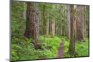 USA, Washington, Olympic National Park. Scenic of Old Growth Forest by Jaynes Gallery